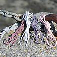 Cancale lacets de couleur